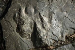 a fossilized dinosaur footprints