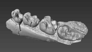 A 3D model of the mandible of Alophia rendered from high resolution CT scans.