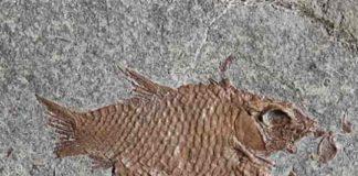 Fossil Fish E. diskosomus.
