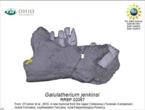Side view of the lower jaw of Galulatherium jenkinsi, the most complete mammal yet know from the Cretaceous Period of the African continent, and named this week by researchers from Ohio University.