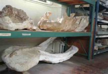 Fossilized skull parts from ancient elephant relatives