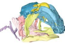 skull of the Coelacanth's foetus