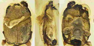 beetle's morphology