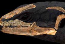 Australian blue tongue lizard ancestor