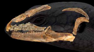 Australian blue tongue lizard ancestor