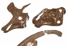 The skulls of three hadrosaur dinosaurs, Lambeosaurus lambei (top left), Gryposaurus notabilis (top right), Parasaurolophus walkeri (lower).