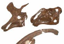 The skulls of three hadrosaur dinosaurs, Lambeosaurus lambei (top left), Gryposaurus notabilis (top right), Parasaurolophus walkeri (lower).