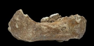 The Xiahe mandible, only represented by its right half, was found in 1980 in Baishiya Karst Cave.