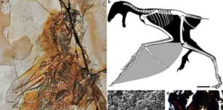 a. Fossil; b. restoration, scale bar equal 10 mm; c. melanosomes of the membranous wing (mw); d. histology of the bony stomach content (bn). st, styliform element; gs, gastroliths Credit: WANG Min