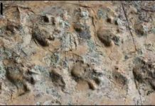 Close-up view of the Ichniotherium trackway from Grand Canyon National Park.