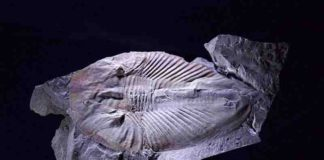 Fossilized giant arthropod Phytophilaspis from the Cambrian Period.