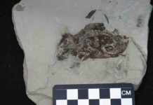 The key fossil examined in this study is a 3-million-year-old extinct species of field mouse from Germany.