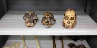 Fossil casts of Australopithecus afarensis (left), Homo habilis (center), and Australopithecus sediba (right)