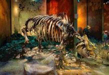 "The cast of ""Little Guy"" mounted on display in the East Tennessee State University Museum of Natural History at the Gray Fossil Site"