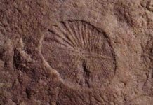 The fossilized remains of Dickinsonia found at the Nilpena Heritage site in Australia. Credit: Scott Evans / UCR