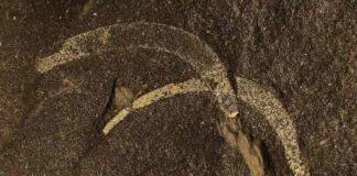 sluglike mollusk Wiwaxia