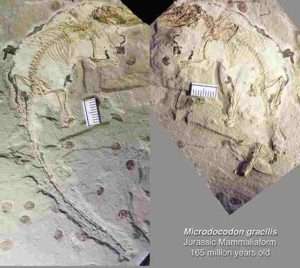 The fossil of Microdocodon gracilis is preserved in two rock slabs, found in a site near the Wuhua village in the Daohugou area of Inner Mongolia, China. Credit: Zhe-Xi Luo