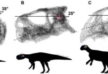 Head posture if the lateral (horizontal) semi-circular canal is parallel to the ground, in hatching (A), juvenile (B) and adult (C) Psittacosaurus lutjiatunensis. Images not to scale. Credit: Claire Bullar and IVPP.