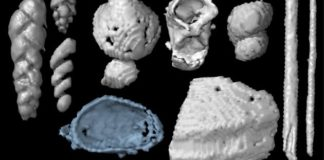 The scans revealed many microscopic food remains including foraminifera (small amoeboid protists with external shells), small shells of marine invertebrates and possible remains of polychaete worms. Credit: Qvarnström mfl.