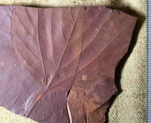 This fossilized tree leaf, is the first of their kind to have been found in the area. Alexandre Demers-Potvin, used the samples he collected to establish that Eastern Canada would have had a warm temperate and fully humid climate during the middle of Cretaceous period. Credit: Alexandre Demers-Potvin