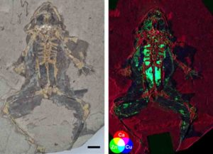 Fig. 1. 10 million-year-old fossil frog from Libros, Spain and X-ray map showing elevated levels of copper and zinc in the internal organs. Fossil photograph copyright the Natural History Museum, London. X-ray fluorescence map. Credit: Valentina Rossi