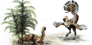 A flightless dinosaur called Similicaudipteryx uses its feathers in a mating display. U of A researchers looked at how such displays may have helped dinosaurs evolve feathers that eventually allowed them to fly. Credit: Sydney Mohr