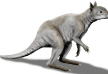 Giant extinct kangaroo