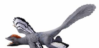 A life reconstruction of the feathered dinosaur Anchiornis huxleyi based on fossil evidence of its color and patterning. This evidence included inferences about melanin pigments. Credit: HKU MOOC / Julius T Csotonyi / Michael Pittman.