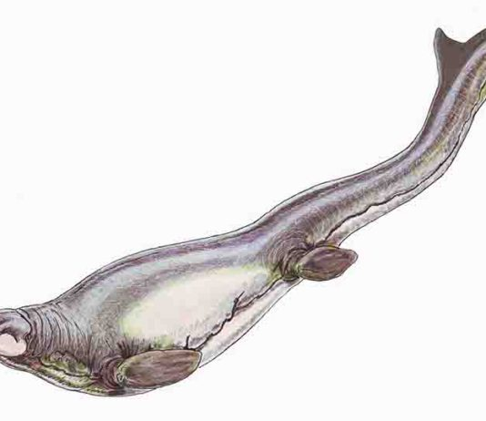Plotosaurus bennisoni is a mosasaur from the Upper Cretaceous (Maastrichtian) North America. Restoration illustration from Wikimedia Commons, CC BY 3.0.