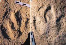 Photograph of the traces analyzed: : Megalosauripus transjuranicus (A) y Jurabrontes transjuranicus (B). Credit: Matteo Belvedere et al.