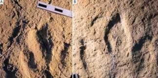Photograph of the traces analyzed: : Megalosauripus transjuranicus (A) y Jurabrontes transjuranicus (B). Credit: Matteo Belvedere et al.