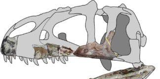 Siamraptor skull reconstruction. Credit: Chokchaloemwong et al., 2019