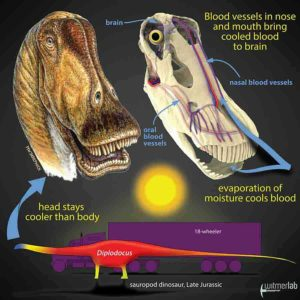 Gigantic dinosaurs like the sauropod Diplodocus, which weighed over 15 tons and was longer than an 18-wheeler truck, would have had problems with potentially lethal overheating. Hot blood from the body core would have been pumped to the head, damaging the delicate brain. New research shows that in sauropods, evaporation of moisture in the nose and mouth would have cooled extensive networks of venous blood destined for the brain. Other large dinosaurs evolved different brain-cooling mechanisms, but all involving evaporative cooling of blood in different regions of the head. Credit: Life restoration by Michael Skrepnick. Courtesy of WitmerLab at Ohio University.