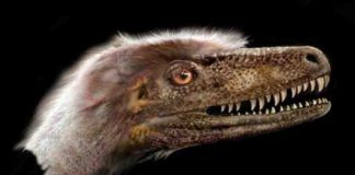 A small, feathered theropod dinosaur, Saurornitholestes langstoni was long thought to be so closely related to Velociraptor mongoliensis that some researchers called it Velociraptor langstoni—until now. Credit: Jan Sovak.