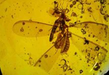 Distribution of springtails on termite and ant hosts within ~ 16 Ma old Dominican amber.