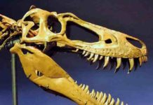 "The skull of the juvenile T. rex, ""Jane"", was slender with knife-like teeth, having not yet grown big enough to crush bone."