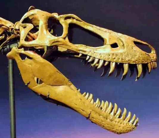 """The skull of the juvenile T. rex, """"Jane"""", was slender with knife-like teeth, having not yet grown big enough to crush bone."""
