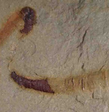 A fossilized cloudinomorph from the Montgomery Mountains near Pahrump, Nevada. This is representative of the fossil that was analyzed in the study.
