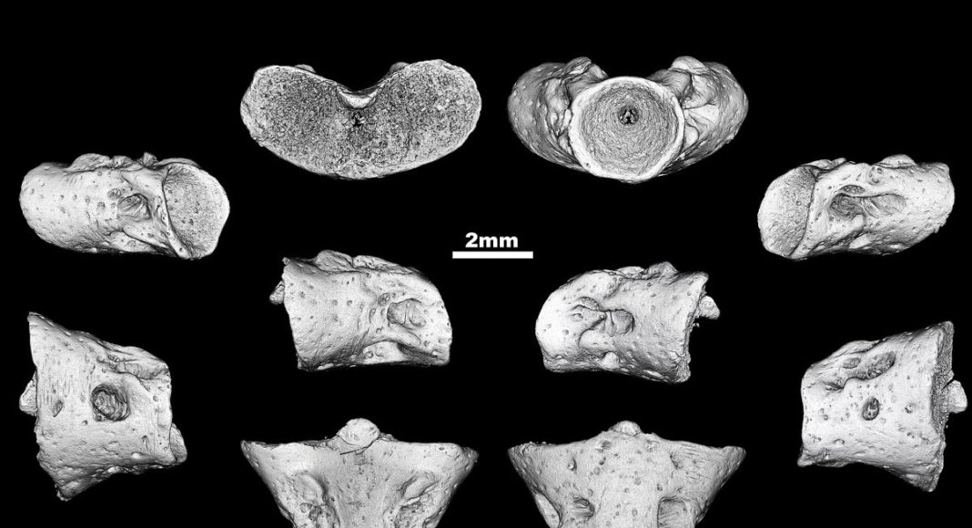 A group of Russian and German palaeontologists have described a previously unknown genus and species of prehistoric salamanders. The new amphibian is named Egoria malashichevi -- in honor of Yegor Malashichev a talented scientist and associate professor of the Department of Vertebrate Zoology at St Petersburg University, who passed away at the end of 2018. Credit: Pavel Skutschas