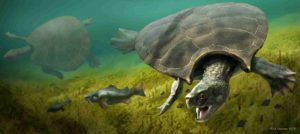 A graphic reconstruction of the giant turtle Stupendemys geographicus: male (front) and female individual (left) swimming in freshwater. Credit: Artwork: Jaime Chirinos