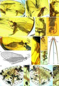 Aneuretopsychidae from Late Cretaceous Burmese amber. Credit: NIGPAS