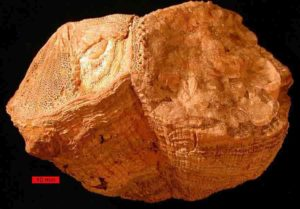 Fossil rudist bivalves (Vaccinites) from the Al-Hajar Mountains, United Arab Emirates. Credit: Wikipedia, Wilson44691 – Own work, Public Domain