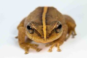 """The common name """"coquí"""" describes various species of frogs in the genus Eleutherodactylus and is derived from two species' distinctive chirping calls. The common coquí, Eleutherodactylus coquí, is the national symbol of Puerto Rico. Photo courtesy of Alberto Lopez Torres"""