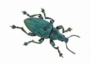 Artistic reconstruction of the type of weevil studied. Credit: James McKay