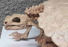 Although turtles belong to the reptiles, their skulls differs markedly from those of other members of this group. Credit: I. Werneburg