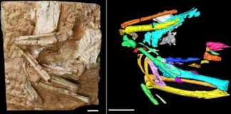 Photograph of the fossil sandgrouse Linxiavis inaquosus (left) with a fabricated-color image (right) of the bird's skeleton based on CT scanning data Credit: IVPP