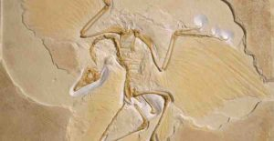 We know that birds, such as this Archaeopteryx, evolved from dinosaurs but there have been persistent questions about how common the feathers were amongst their extinct relatives © The Trustees of the Natural History Museum, London