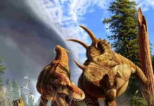 In this artist's depiction of wildlife from Alberta, Canada, 77 million years ago, the tyrannosaur Daspletosaurus hunts a young horned Spinops, while an adult Spinops tries to interfere and a Coronosaurus watches from a distance. Credit: Julius Csotonyi.