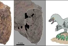 An egg of Himeoolithus murakamii (left), outlined egg with intact eggshell remains (black area) (middle), and reconstruction of Himeoolithus murakamii and their probable parent dinosaur (right).
