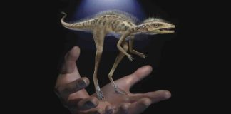 Life restoration of Kongonaphon kely, a newly described reptile near the ancestry of dinosaurs and pterosaurs, shown to scale with human hands. The fossils of Kongonaphon were found in Triassic (~237 million years ago) rocks in southwestern Madagascar and demonstrate the existence of remarkably small animals along the dinosaurian stem. Art by Frank Ippolito / © American Museum of Natural History